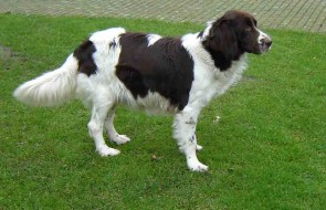 Dutch patridhe dog pregnant