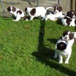 Pups Senna x Spot 5weken
