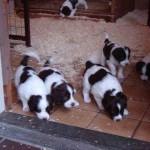 Pups Senna x Spot 4weken