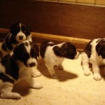 Drentsche Patrijshond pups
