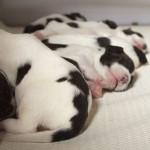 Pups Balou x Geoff