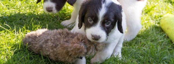 Foto's en video  pups Balou x Geoff 5 weken oud
